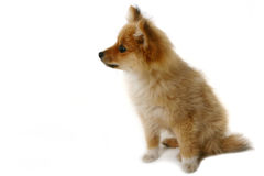 Curious Puppy on White Royalty Free Stock Image