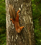 Curious quirrel Royalty Free Stock Image