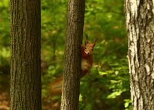 Curious quirrel Stock Image