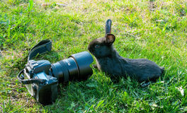 Curious rabbit and the camera. Stock Photography