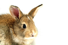 Curious rabbit face. A curious little rabbit face with balck eyes royalty free stock image