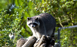 Curious raccon Royalty Free Stock Photos