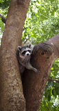 Curious Raccoon Stock Image