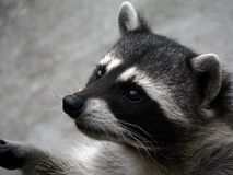 The curious raccoon. Royalty Free Stock Image