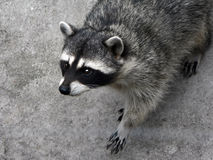 The curious raccoon. Stock Photo