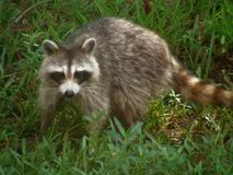 Curious Raccoon Royalty Free Stock Images