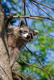 Curious Raccoon. Peeking out from behind a tree Royalty Free Stock Photography