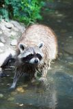Curious raccoon. Little racoon standing in water watching curious next to the camera stock photo
