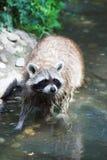 Curious raccoon stock photo