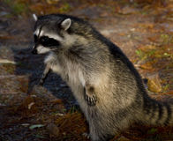 Curious Raccoon in Forest. Curious raccoon on the ground Stock Photo