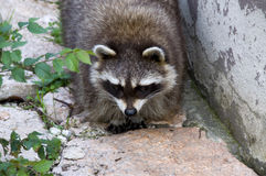 Curious raccoon Stock Photo