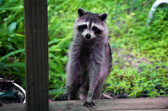 Curious raccoon standing on stair Stock Images