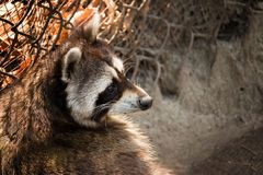 Curious Raccoon. A curious raccoon stares into the distance at the Virginia Living Museum stock photo