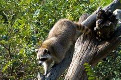 Curious raccoon Stock Image