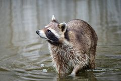 Curious raccoon is waiting for some food from a spectator in the royalty free stock photo