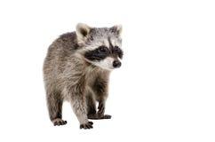 Curious raccoon walking Royalty Free Stock Photos
