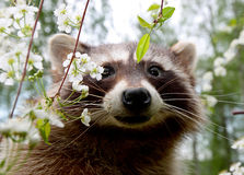 Curious racoon. Curious backyard visitor looking through the cherry trees critter, rodent, nature, smart, wild, burglar, thief, steal, common, fur, furry, hair Stock Image