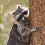 Curious racoon is climbing a tree Stock Photos
