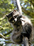 Curious racoon on a tree. Curious racoon in North West Track Park Stock Photography
