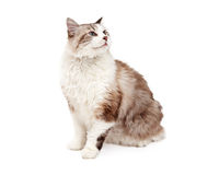 Curious Ragdoll Cat Sitting At An Angle Stock Photography