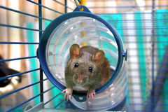 Curious rat. Cub in a cage Stock Image