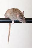 Curious rat. Gray house rat on a black crossbar Stock Image