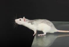Curious rat Royalty Free Stock Photos