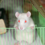 Curious rat Stock Photography
