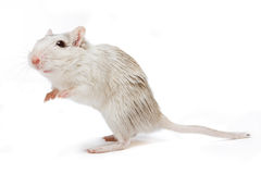 Curious rat. Little white gerbil rat looking curious on a white background royalty free stock photos