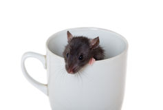 Curious rat in a cup Royalty Free Stock Images