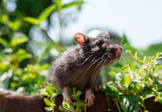 Curious rat pet walks in the garden Royalty Free Stock Photography