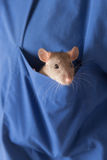 Curious rat Royalty Free Stock Photo