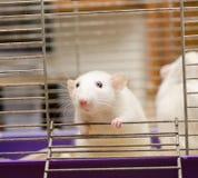 Curious rat Stock Photography