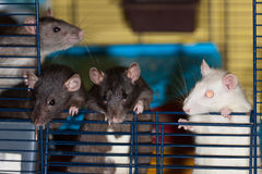 The curious rats Stock Photo