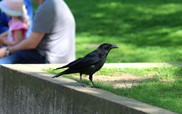 Curious raven near sitting people Royalty Free Stock Photography