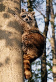 Curious recoon. Curious racoon want to get tasty piece doesn't like to come closer Stock Photos
