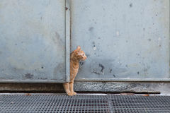 Curious red cat behind a door Royalty Free Stock Image