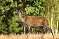 Curious red deer doe in a glade Stock Images