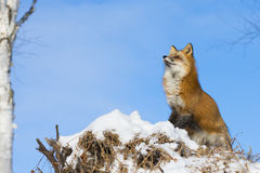 Curious red fox Royalty Free Stock Images