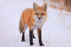 Curious red fox Stock Photo