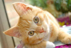 Curious red kitten Royalty Free Stock Photo