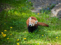 Curious red panda Royalty Free Stock Image