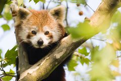 Curious red panda. Red panda climbing in a tree and looking curious Stock Photo