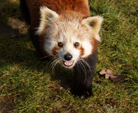 Curious red panda (Ailurus fulgens) Stock Images