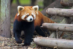 Curious red panda bear Royalty Free Stock Photography