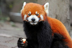 Curious red panda bear Stock Photos