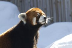 Curious red panda looking up Stock Images