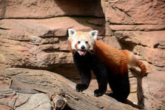 Curious red panda is a small bear cat native to China Stock Photography