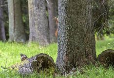 Curious red squirrel peeking behind the tree trunk. Red squirrel. Trentino Alto Adige, Italy. Curious red squirrel peeking behind the tree trunk. Red squirrel royalty free stock images