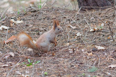 Curious red squirrel posing in the park. In early spring Royalty Free Stock Photo